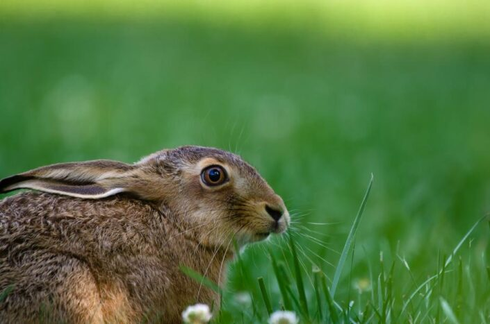 Wild hare in a field